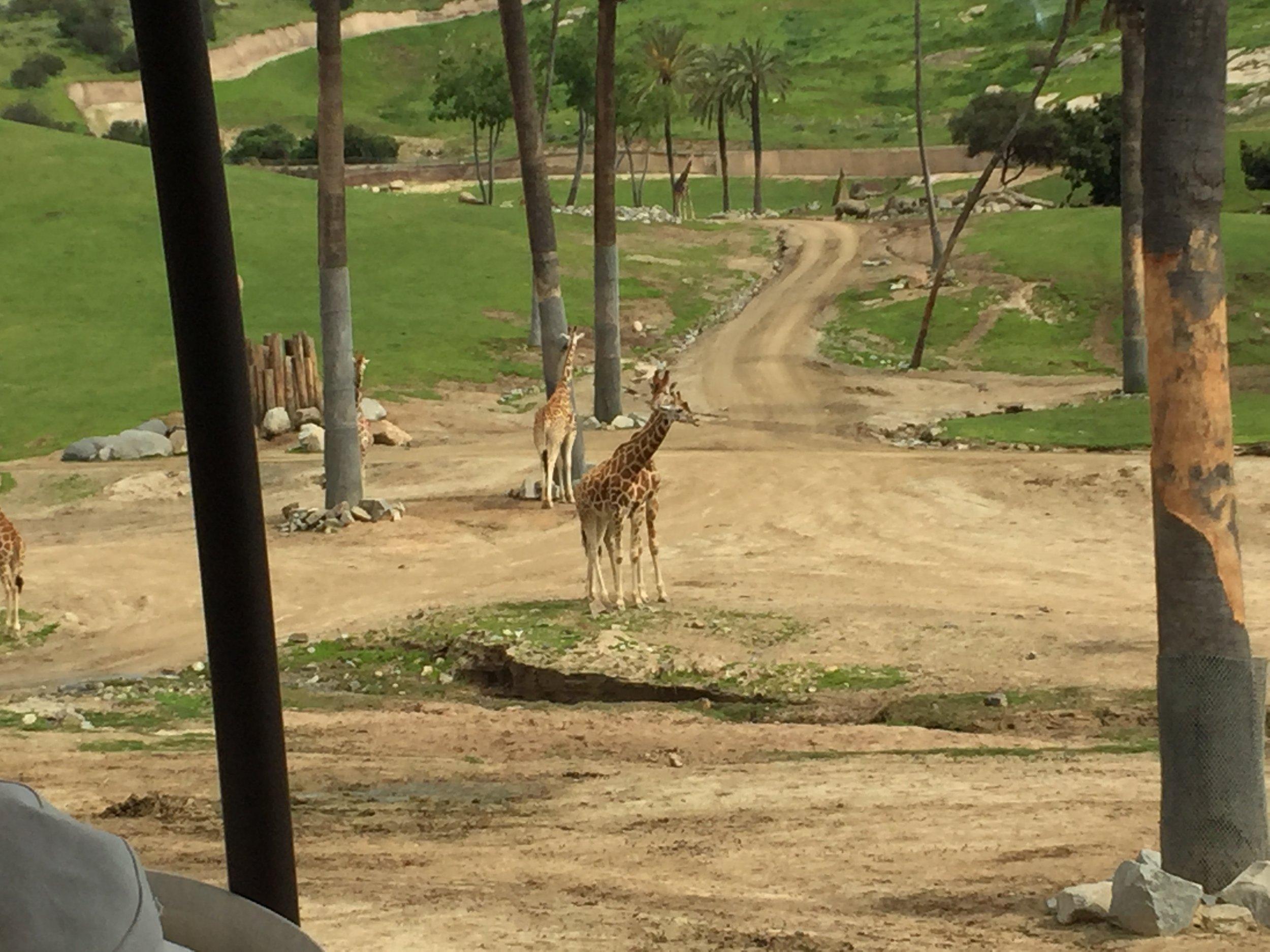 Giraffes and water buffalo at SD Zoo and Safari Park.