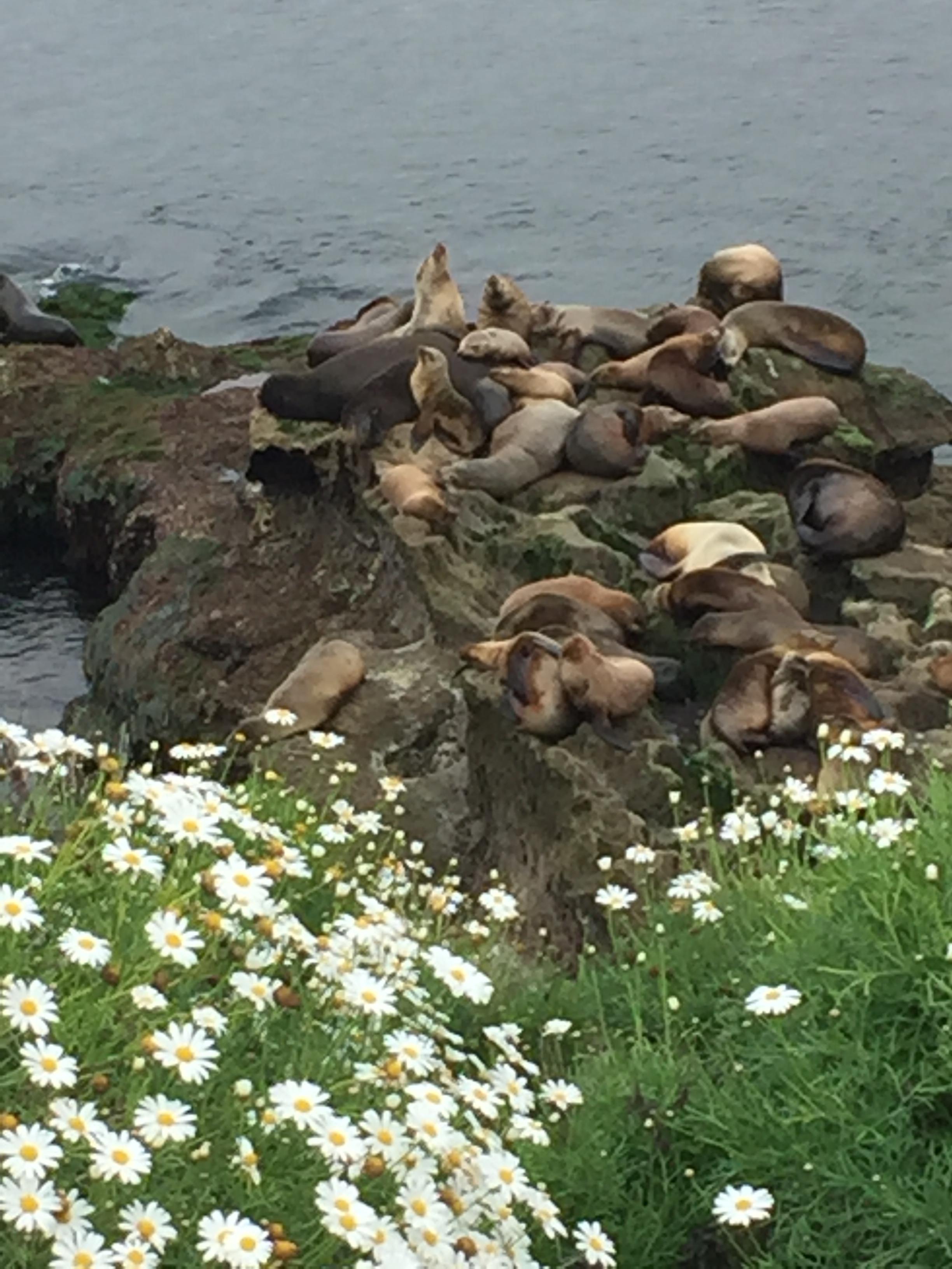 Mama seals and pups at La Jolla Cove.