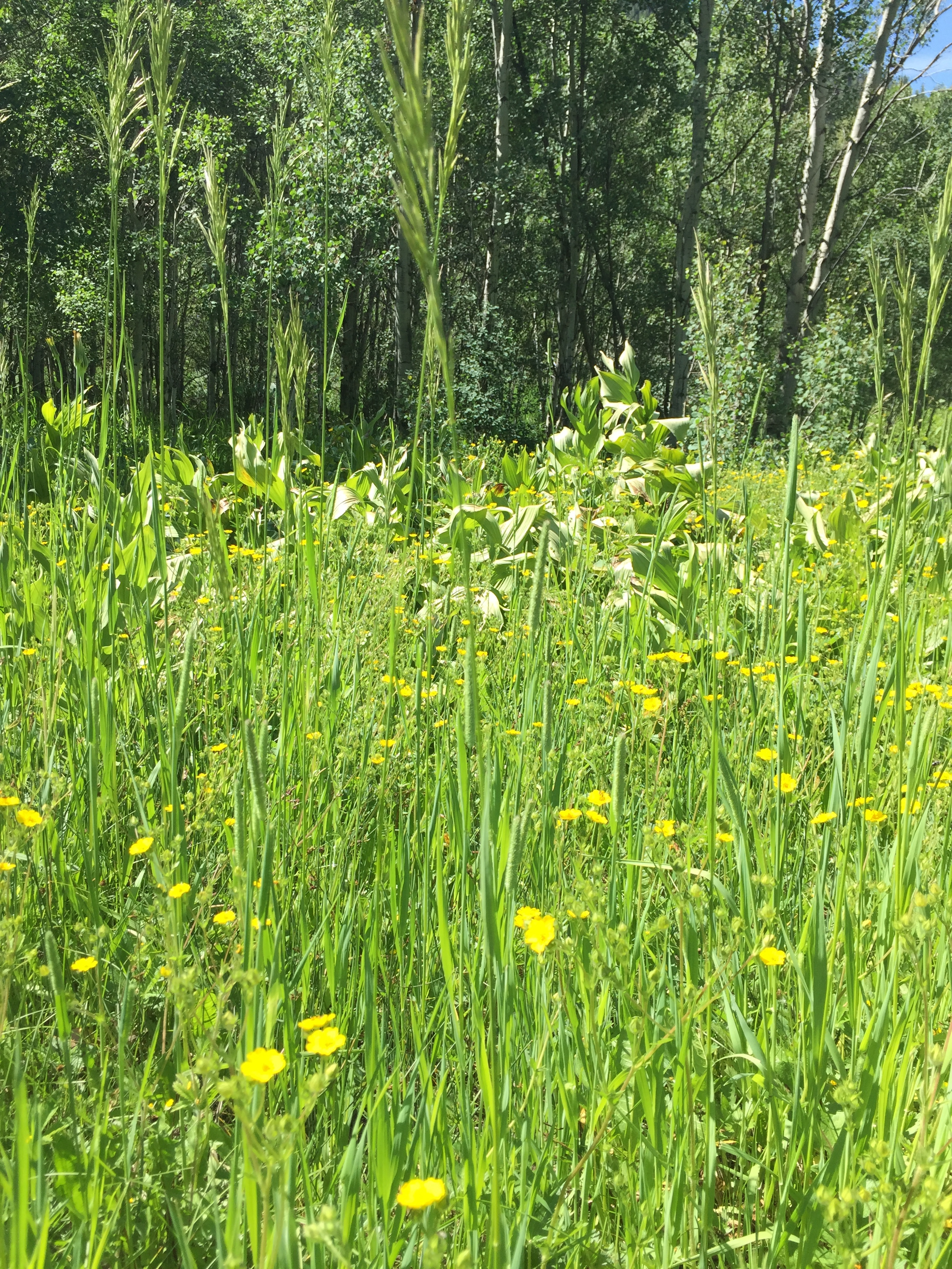 Aspen trees, skunk cabbage and buttercups.