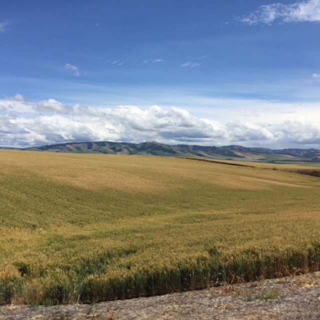 Wheat fields with Blue Mountains in the distance.