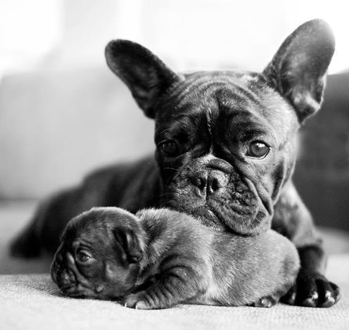 Frenchie Mom and Pup