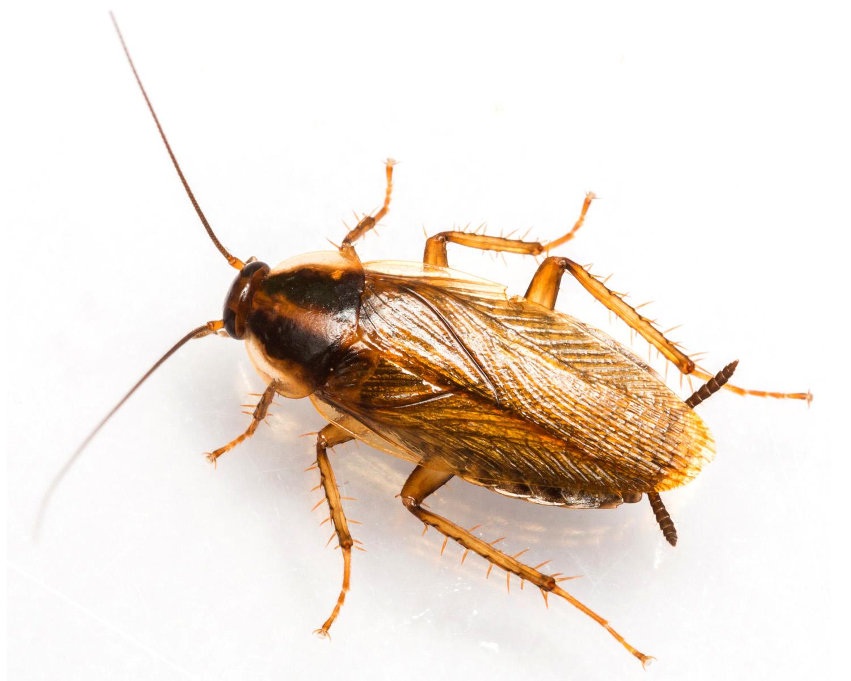 German_Cockroach.jpg
