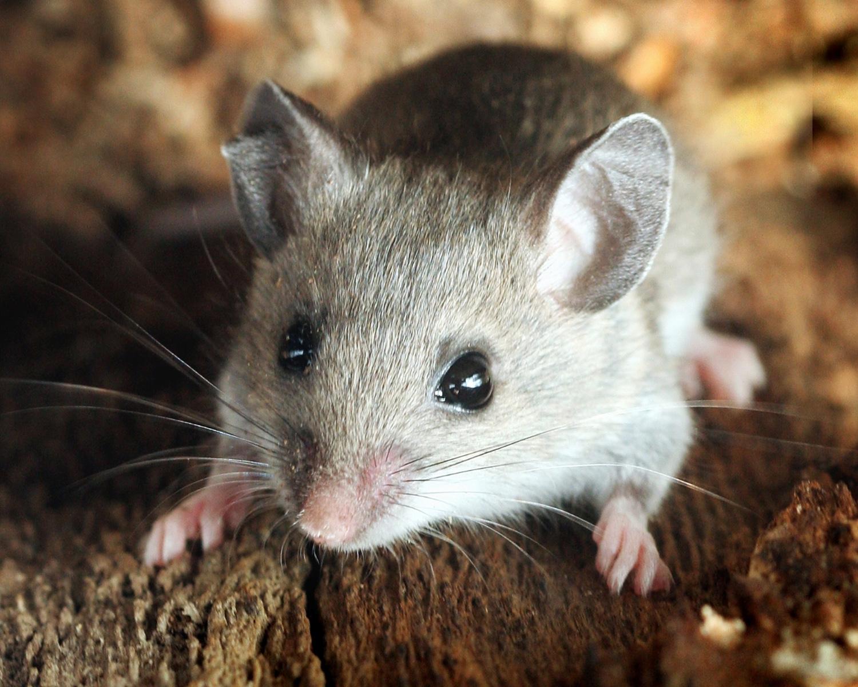 Deer_Mouse.jpg