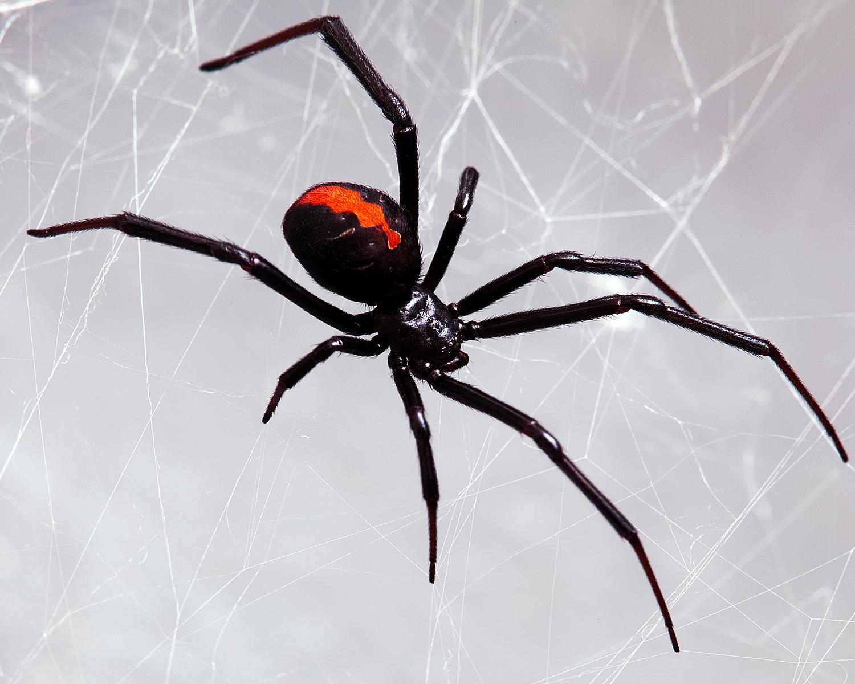 Black_Widow.jpg