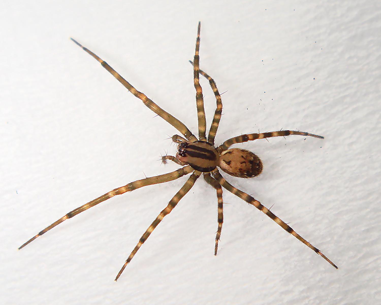 Aggressive_House_Spider.jpg