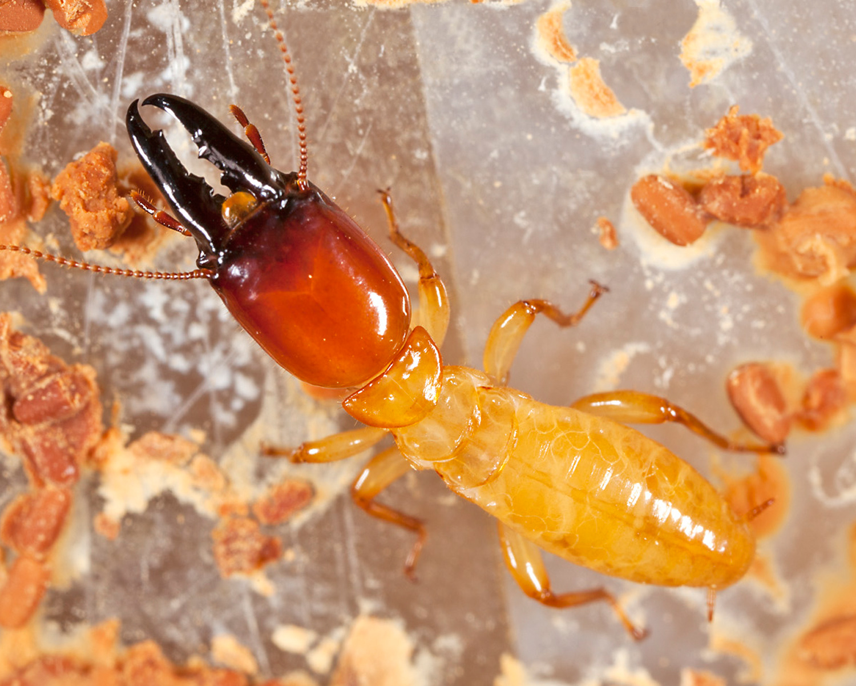 Dampwood_Termite.jpg