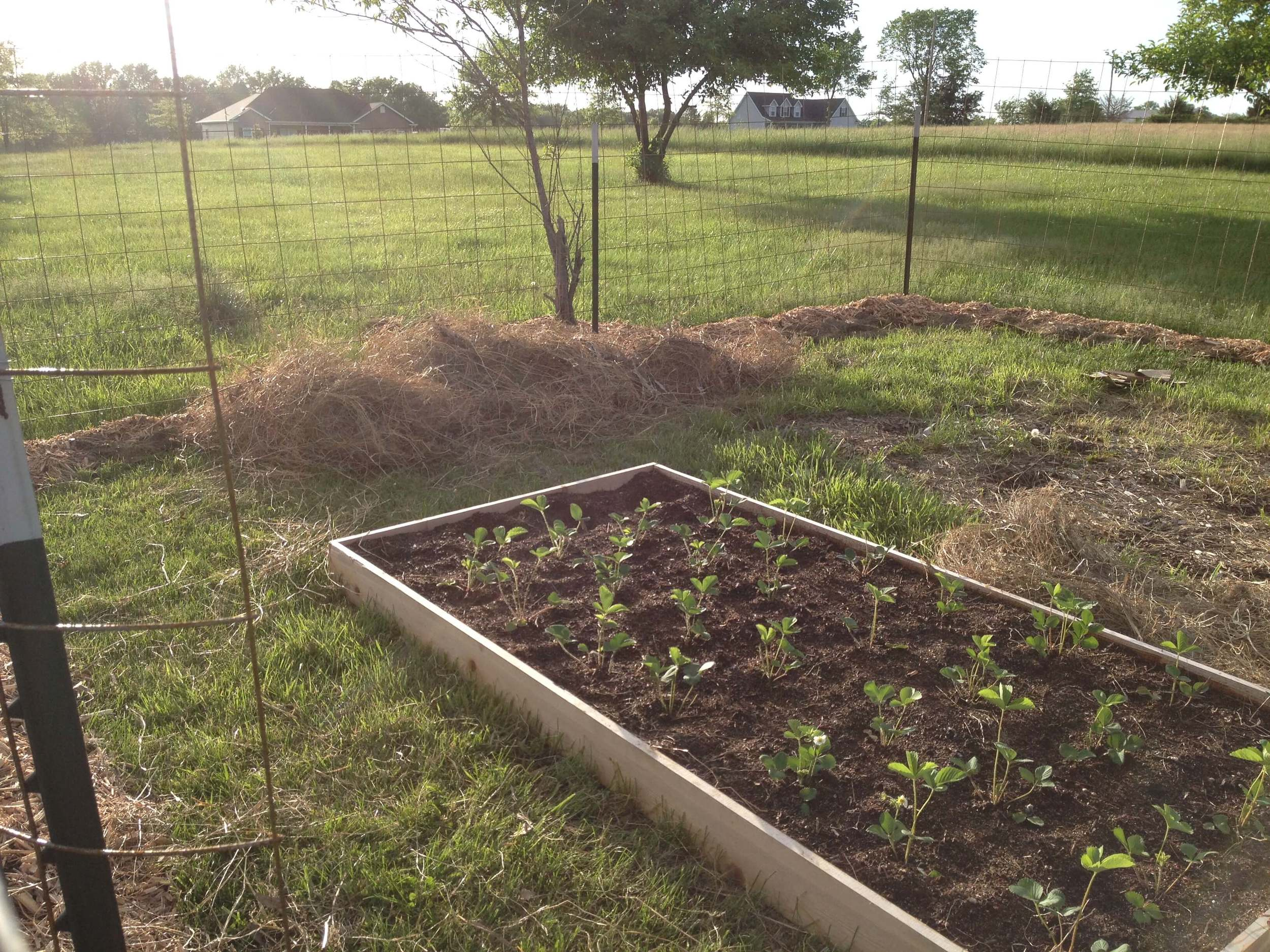 strawberry square foot garden bed