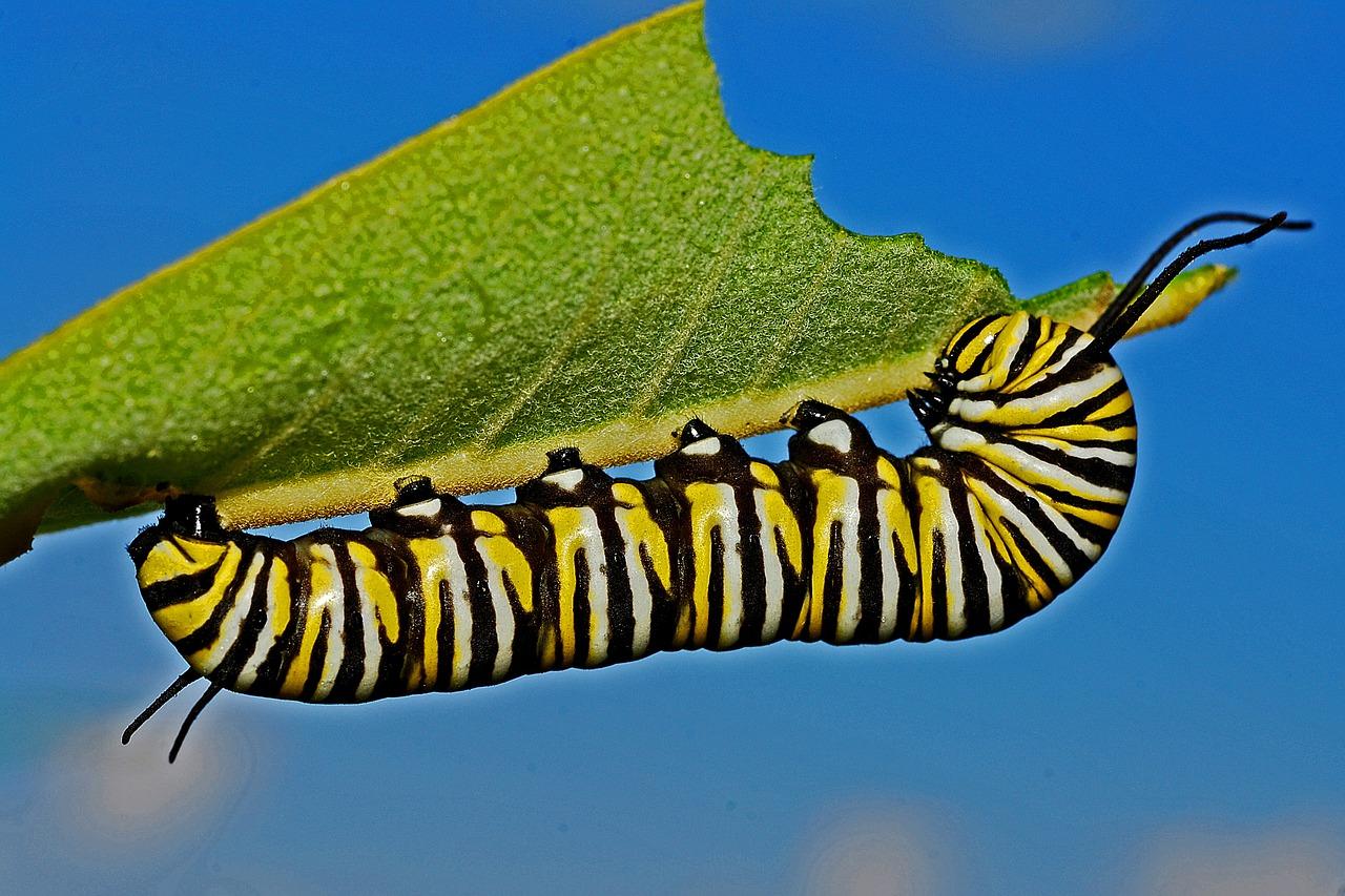Caterpillar years