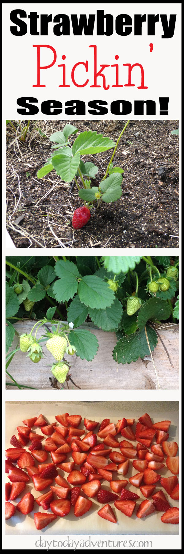 It's strawberry picking season!  Red ripe berries ready to freeze!  - DaytoDayAdventures.com
