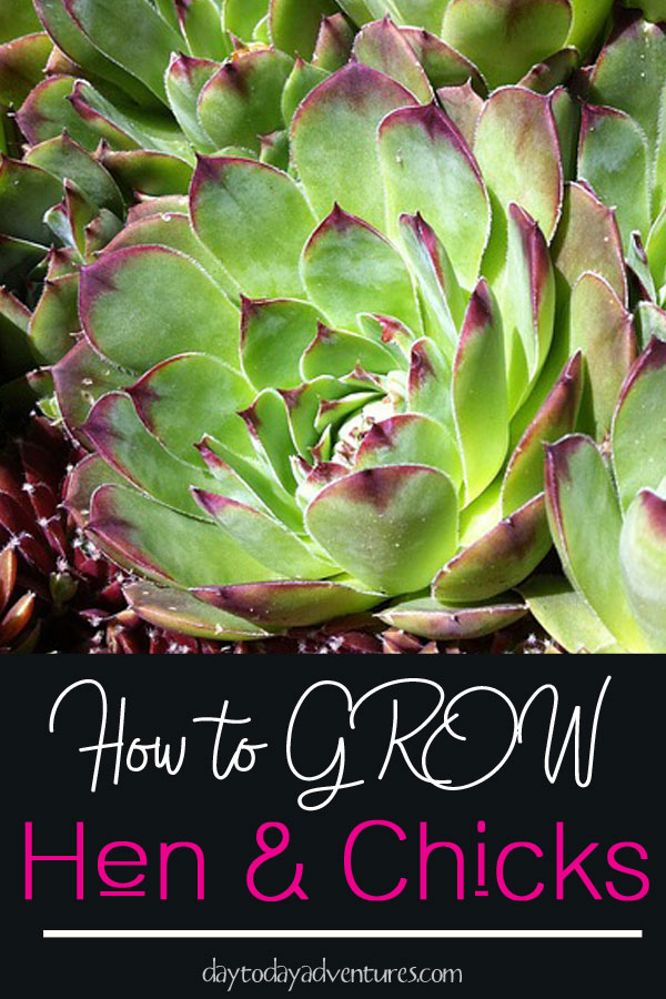 How to Grow Hens and Chicks