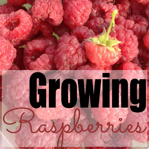 What we've learned about growing raspberries
