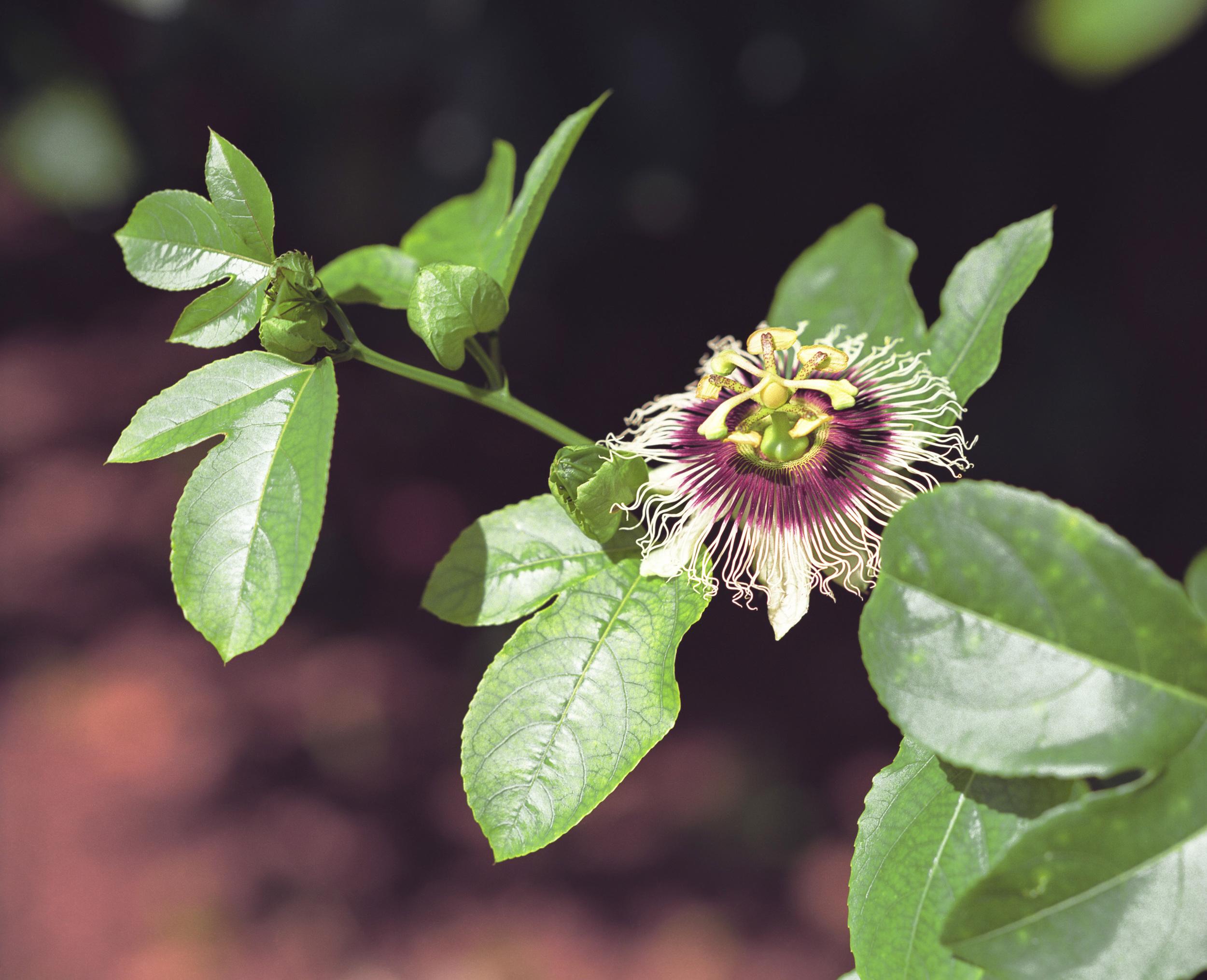 Pasionaria flower.jpg