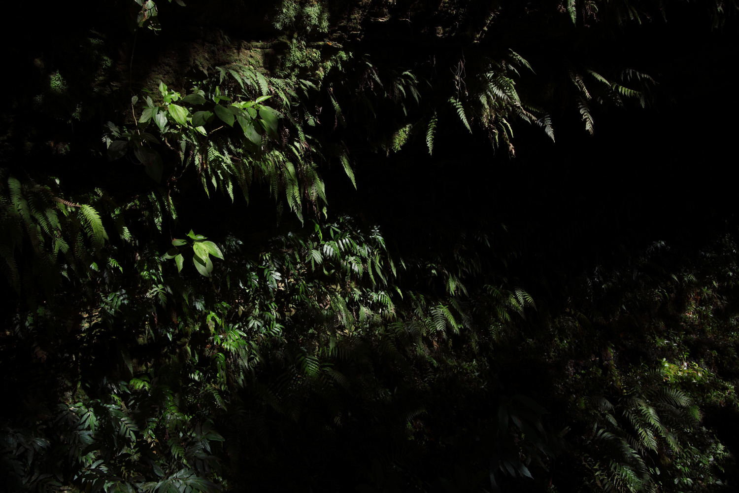 Jamaca-ferns-dark-1-copy.jpg