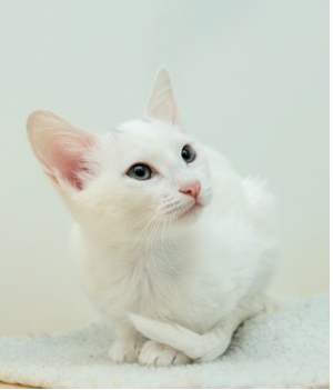Tuna the Cat ~  Baby / Male