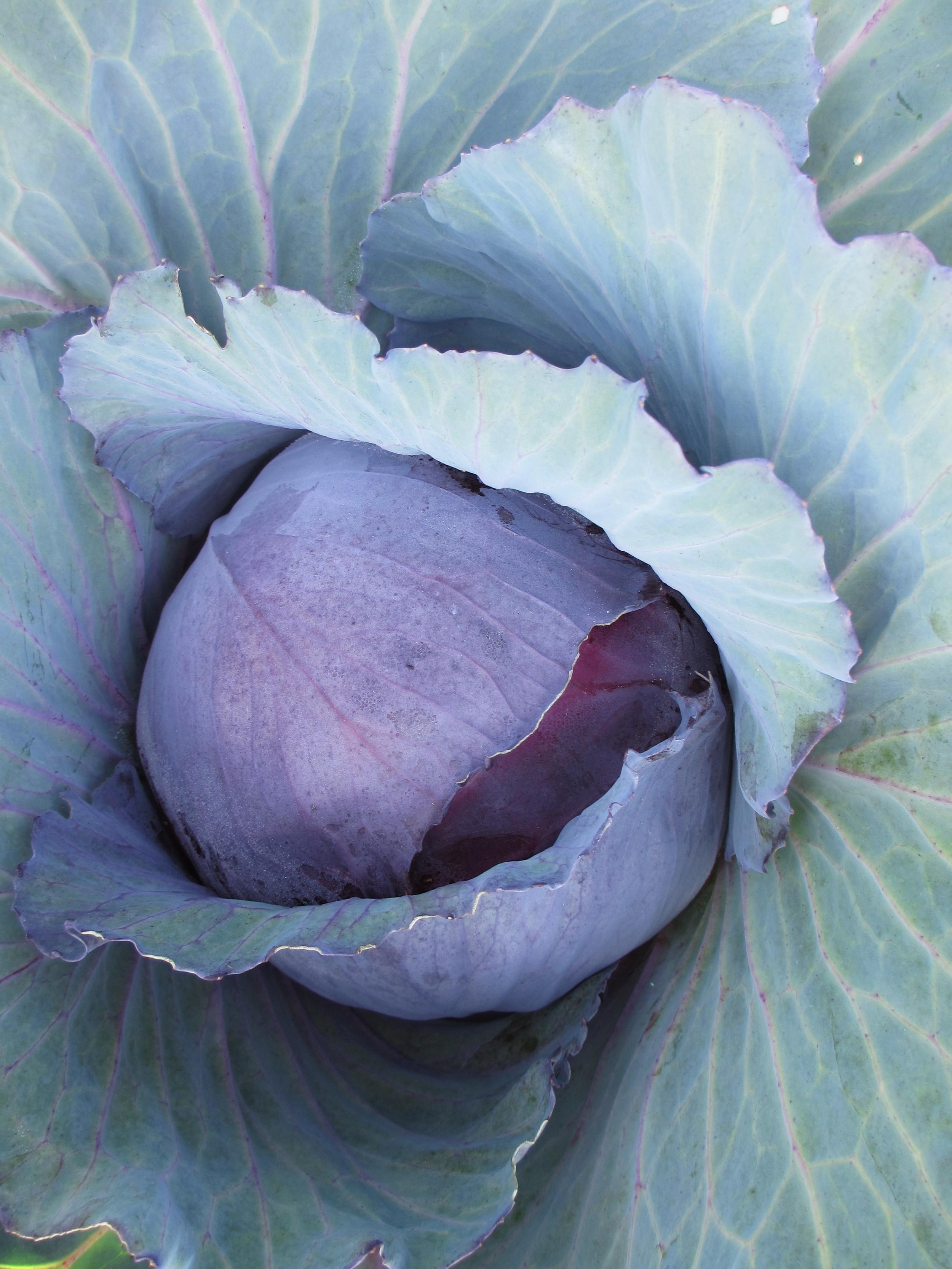 red_cabbage.JPG