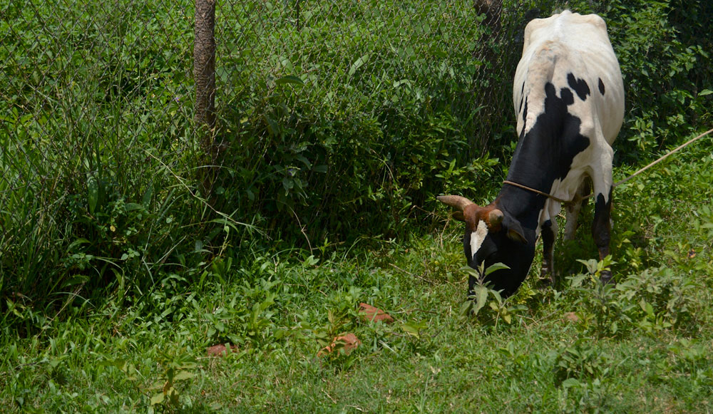 mary.cow
