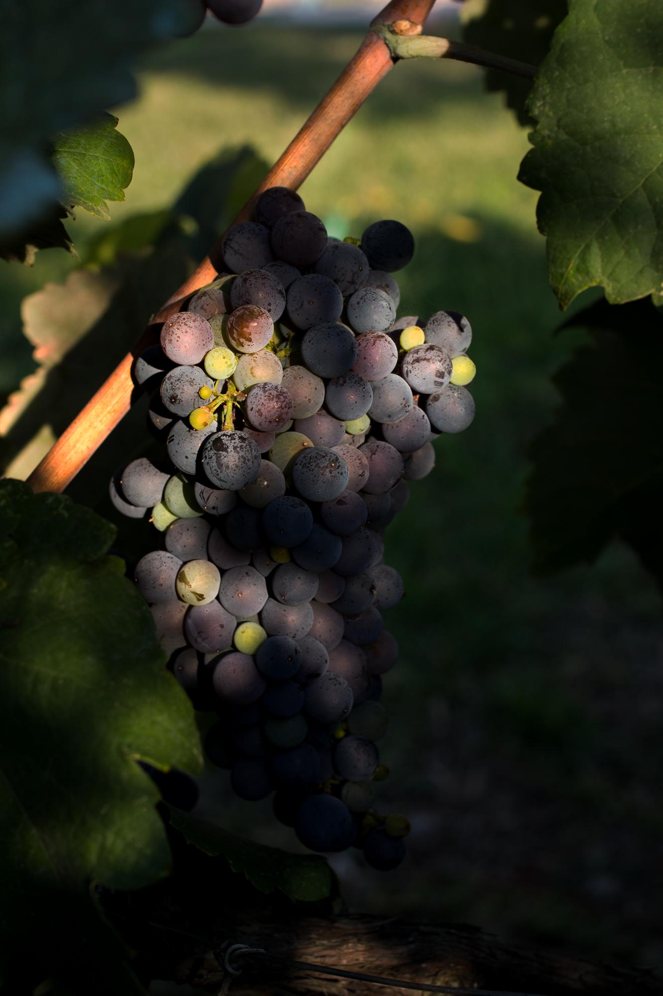 Corfu-Grapes.png