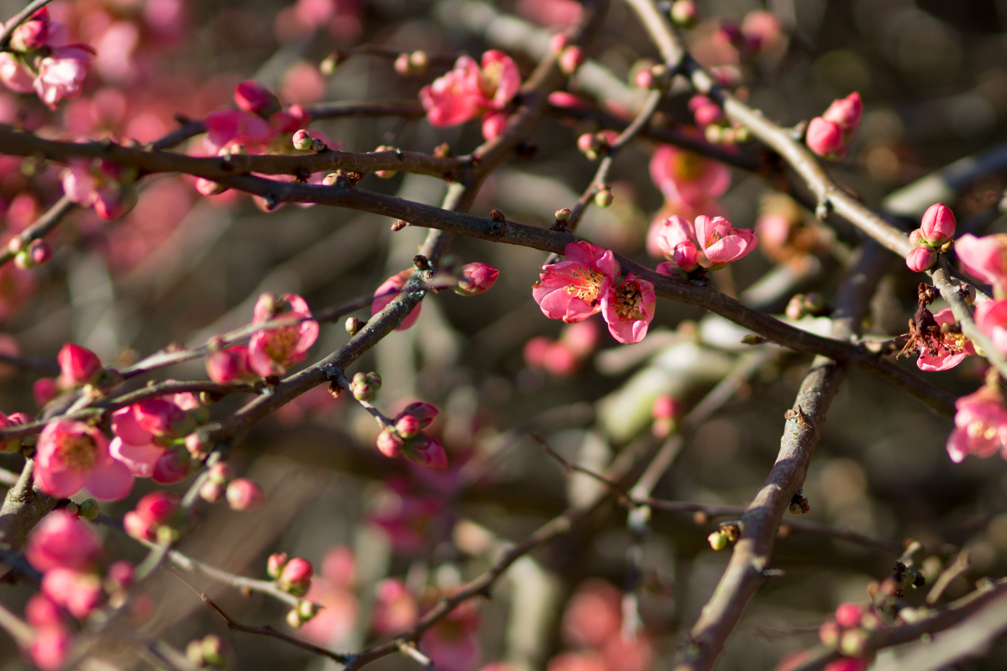 pink-snowberry-blossoms.png
