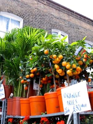 orange-trees.jpg