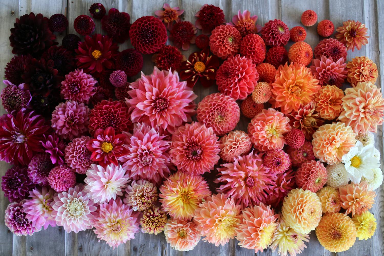 Floret_How-To-Grow-Dahlias-1.jpg