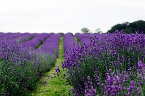 wonderfull-lavender-field.jpg