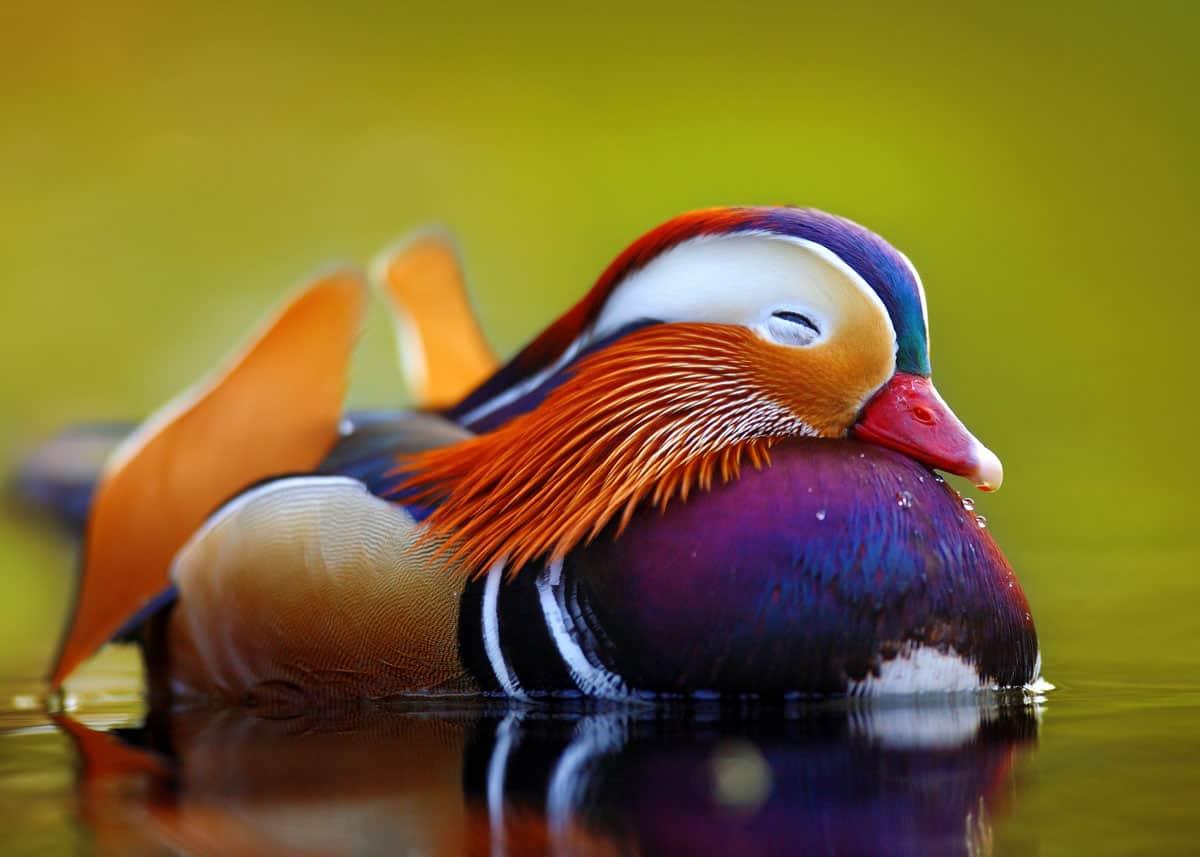 mandarin-duck-Aix-galericulata.jpg