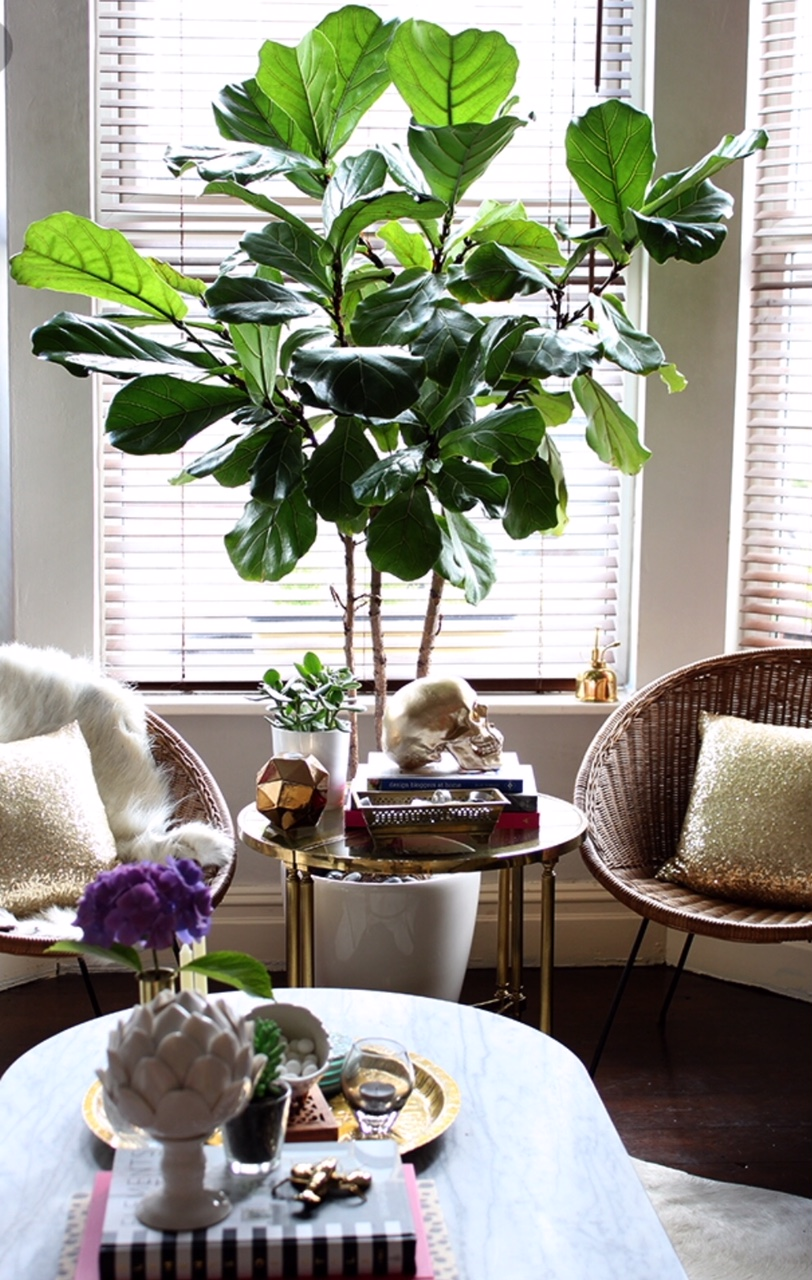 A stunning fiddle ficus tree. Image credit to www.swoonworthy ( https://www.swoonworthy.co.uk/2015/my-fiddle-leaf-fig-tree-was-it-worth-the-money.html/ )