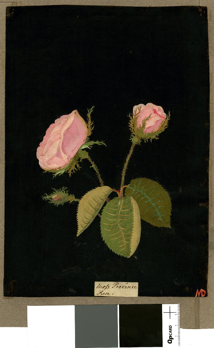British Museum collection online . Rosa Gallica (Icosandria Polygynia), from an album (Vol.VIII, 39); Moss Provence rose. 1775 Collage of coloured papers, with bodycolour and watercolour, on black ink background.