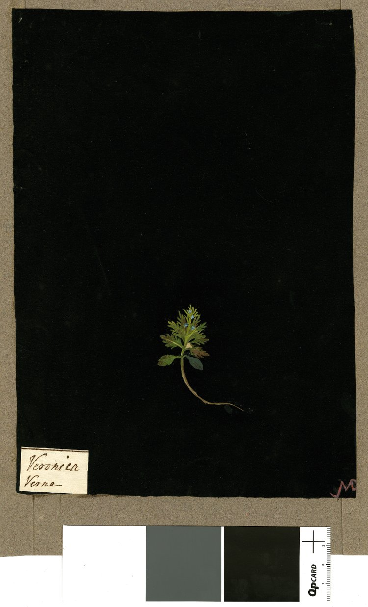 British Museum collection online . Veronica Verna, from an album (Vol.IX, 79); Vernal Speedwell. 1780 Collage of coloured papers, with bodycolour and watercolour, and with leaf sample, on black ink background.   There is a real leaf in there!!!