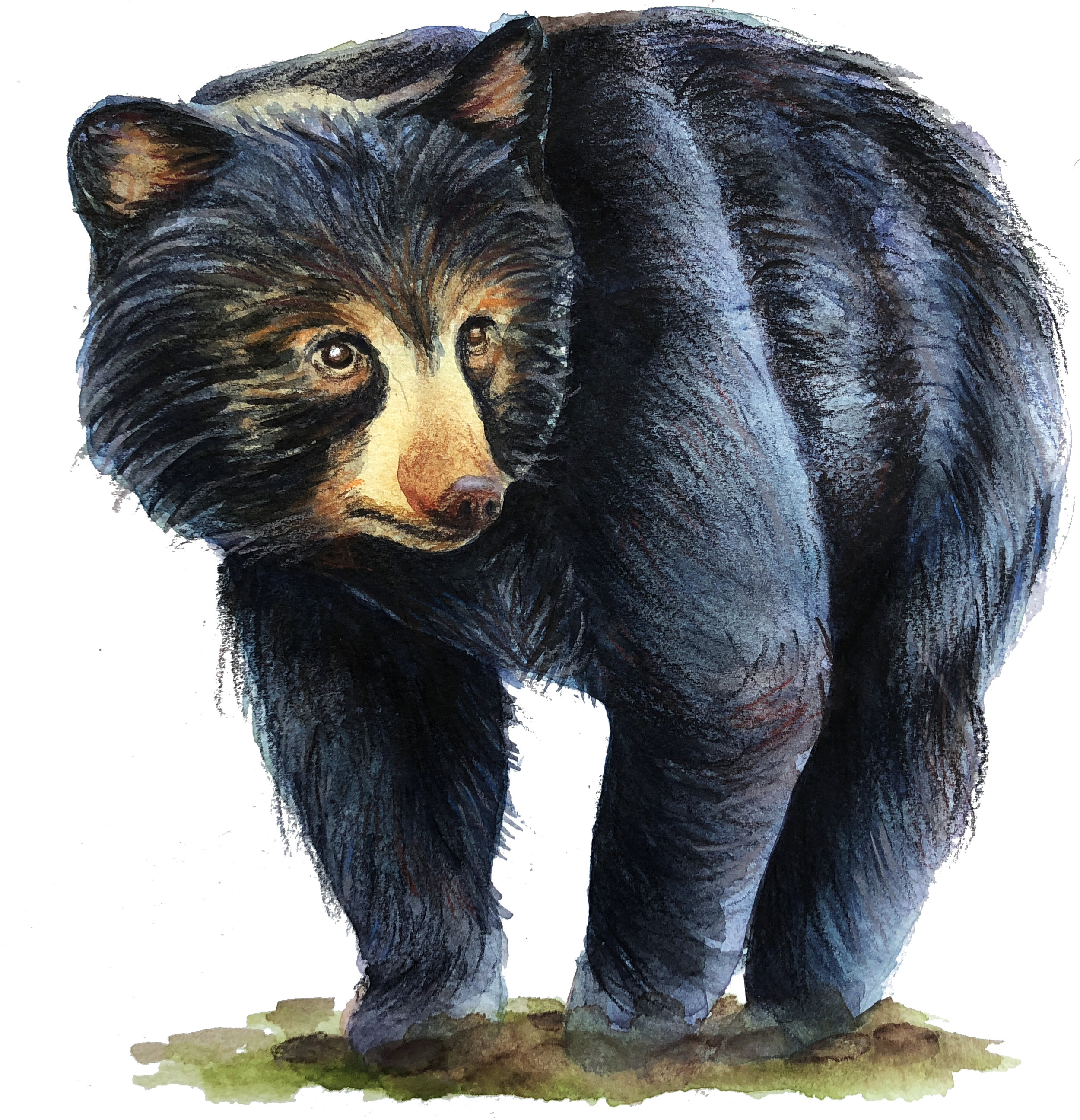 The Florida Black Bear
