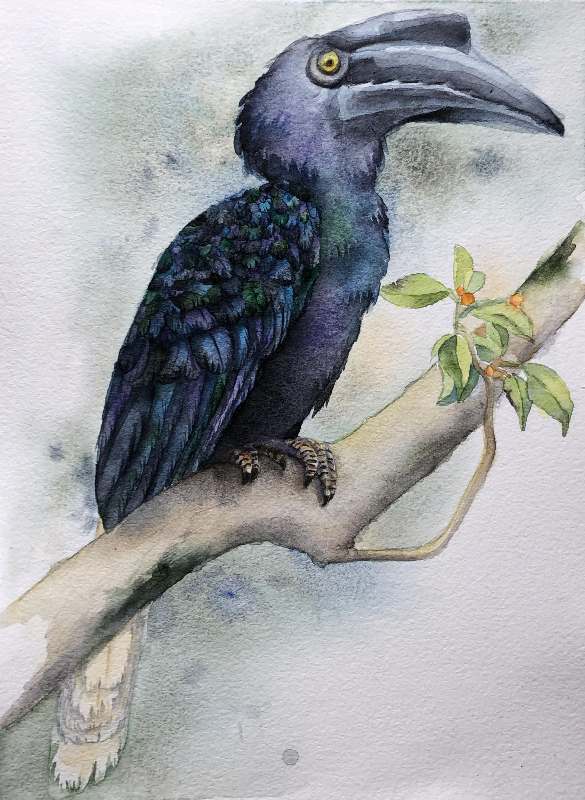 Sulu Hornbill