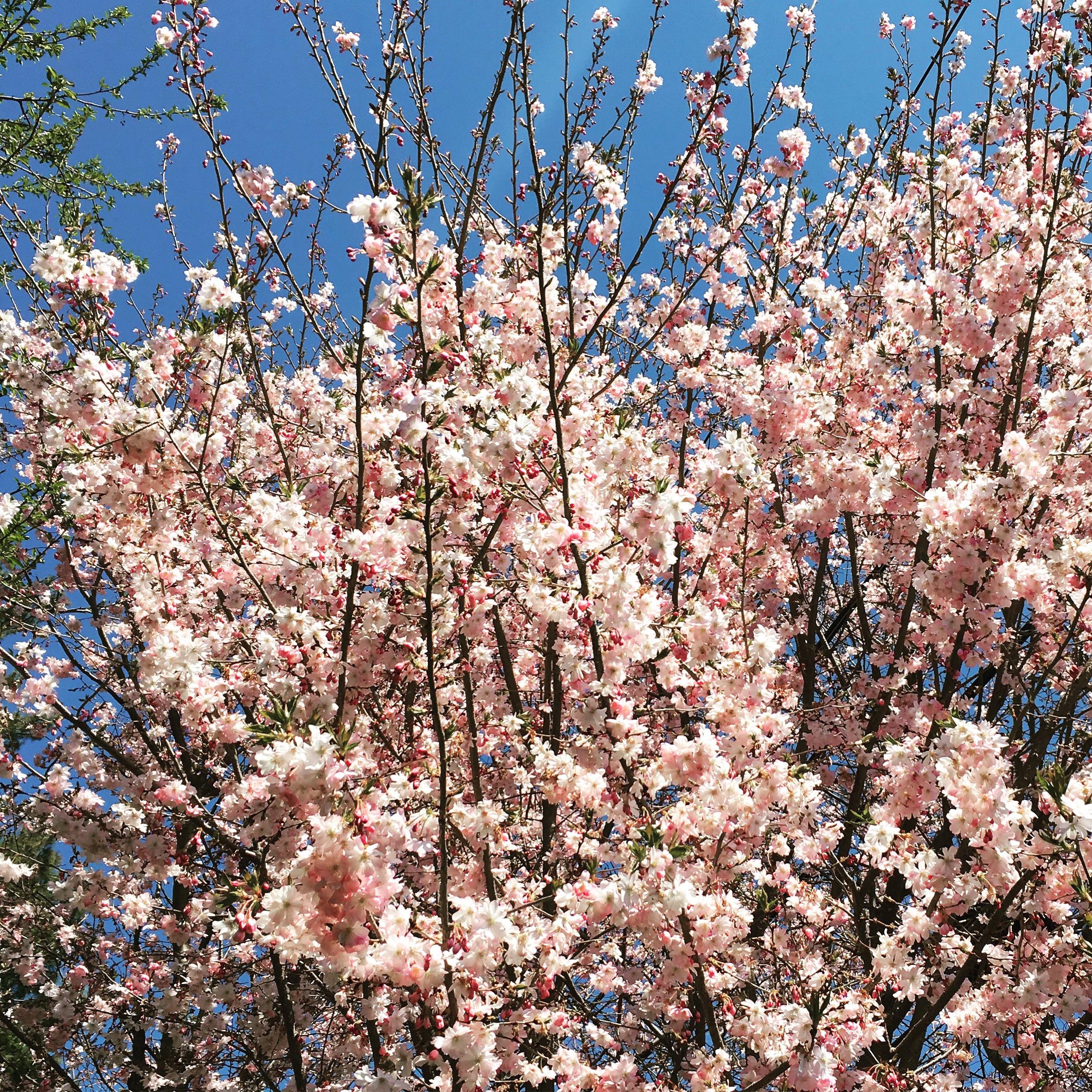 {Cheerful Cherry Blossoms}