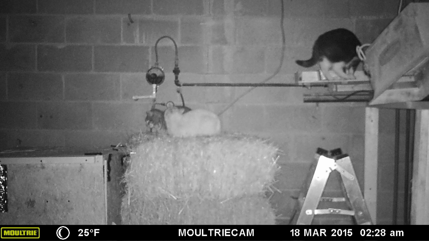 Our barn cats stay well fed over the winter!