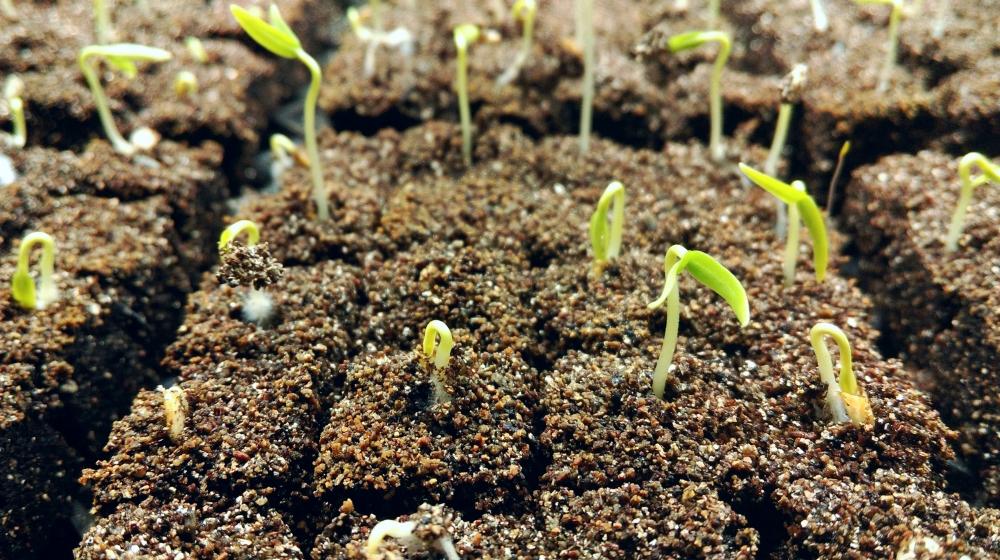 Carmen pepper seedlings - just a few days old!