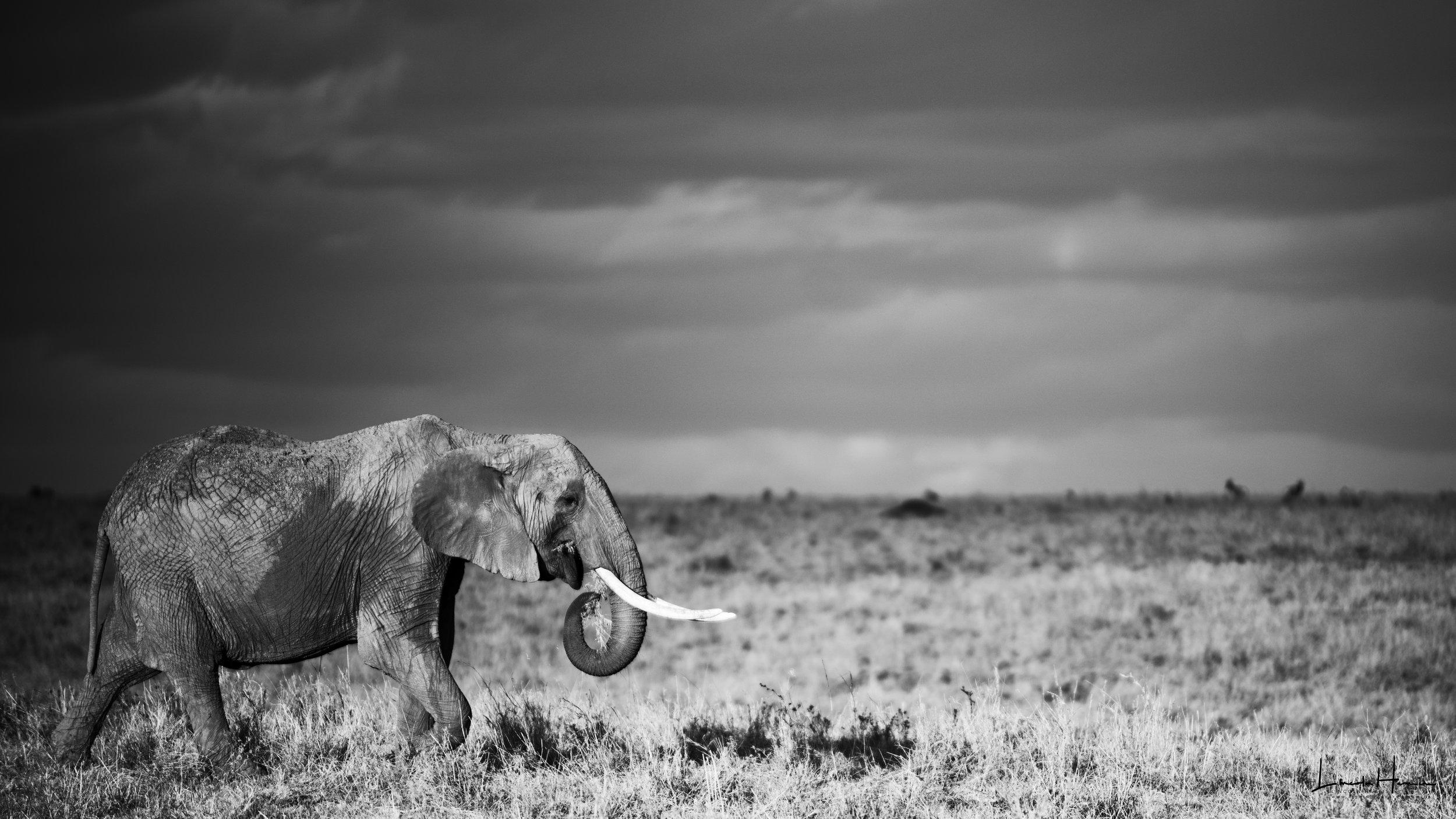 Ele Grazing elephant under the clouds 16x9 bw mm 2017.jpg
