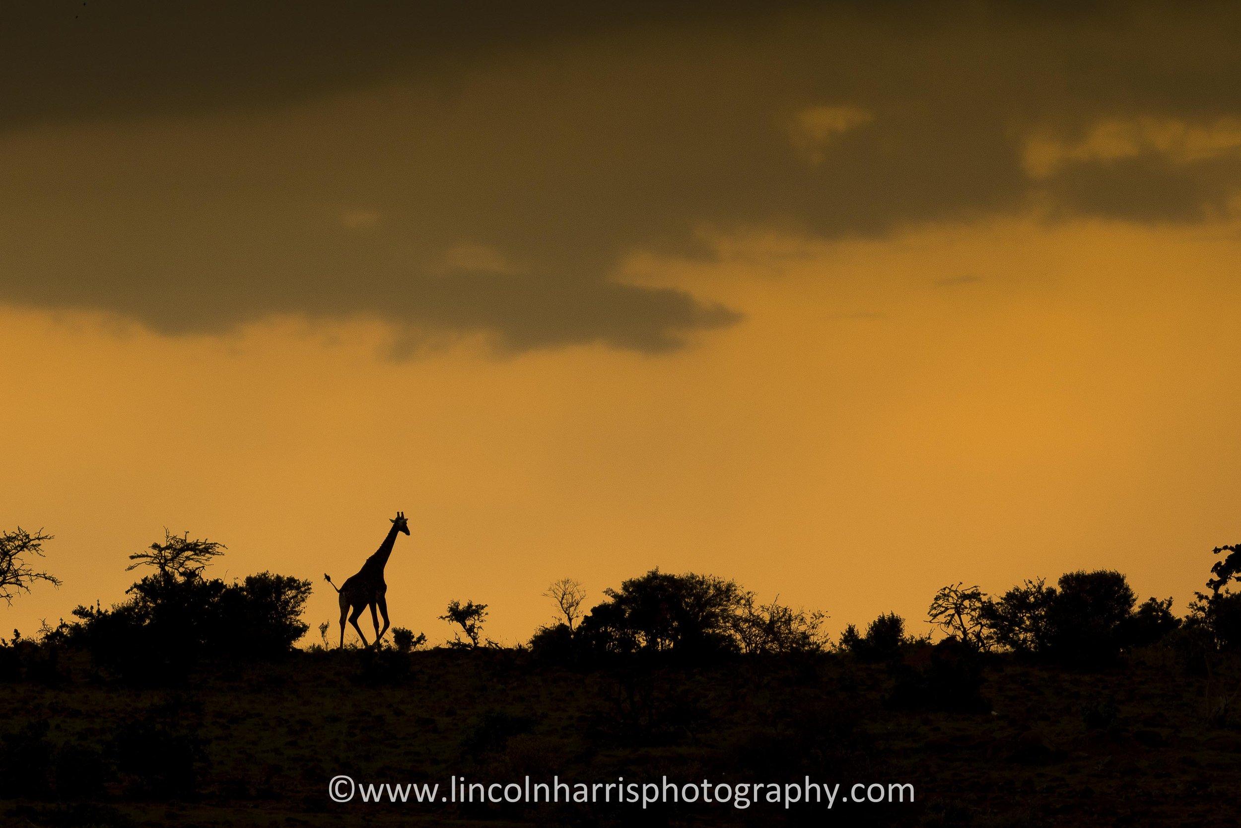 Giraffe Skyline.jpg