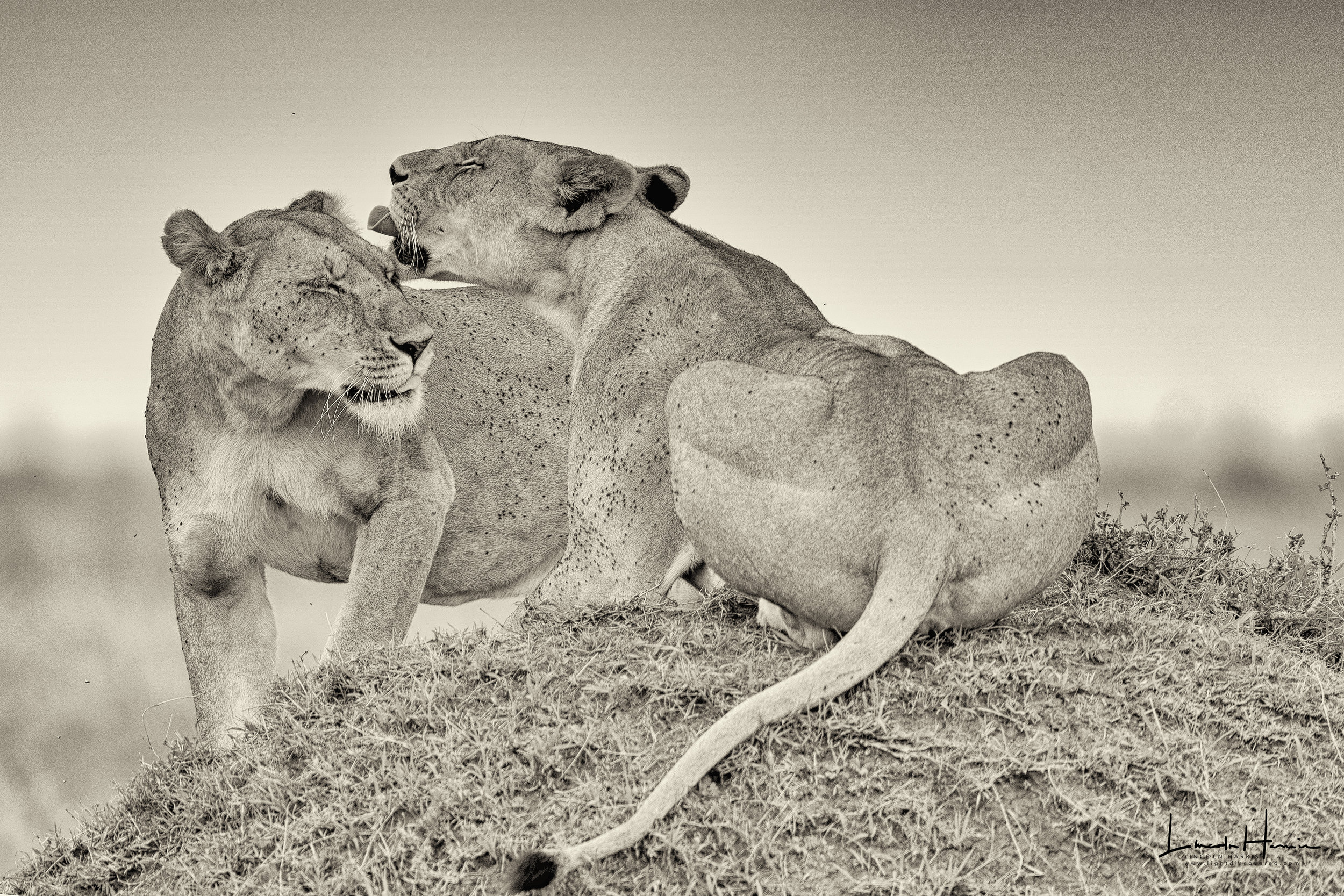 Two lionesses enjoy a special reunion in the Mara.