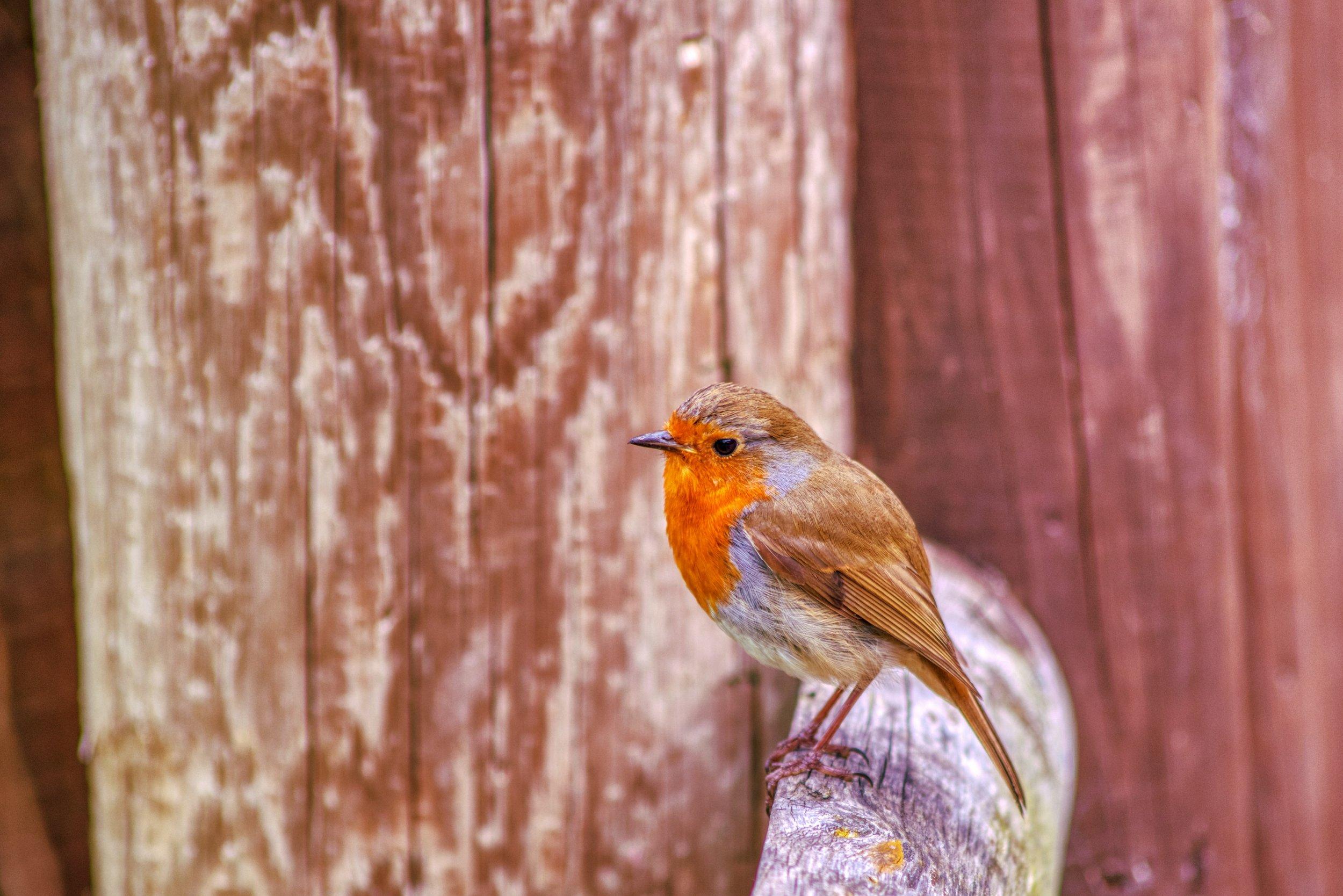 Robin.jpeg