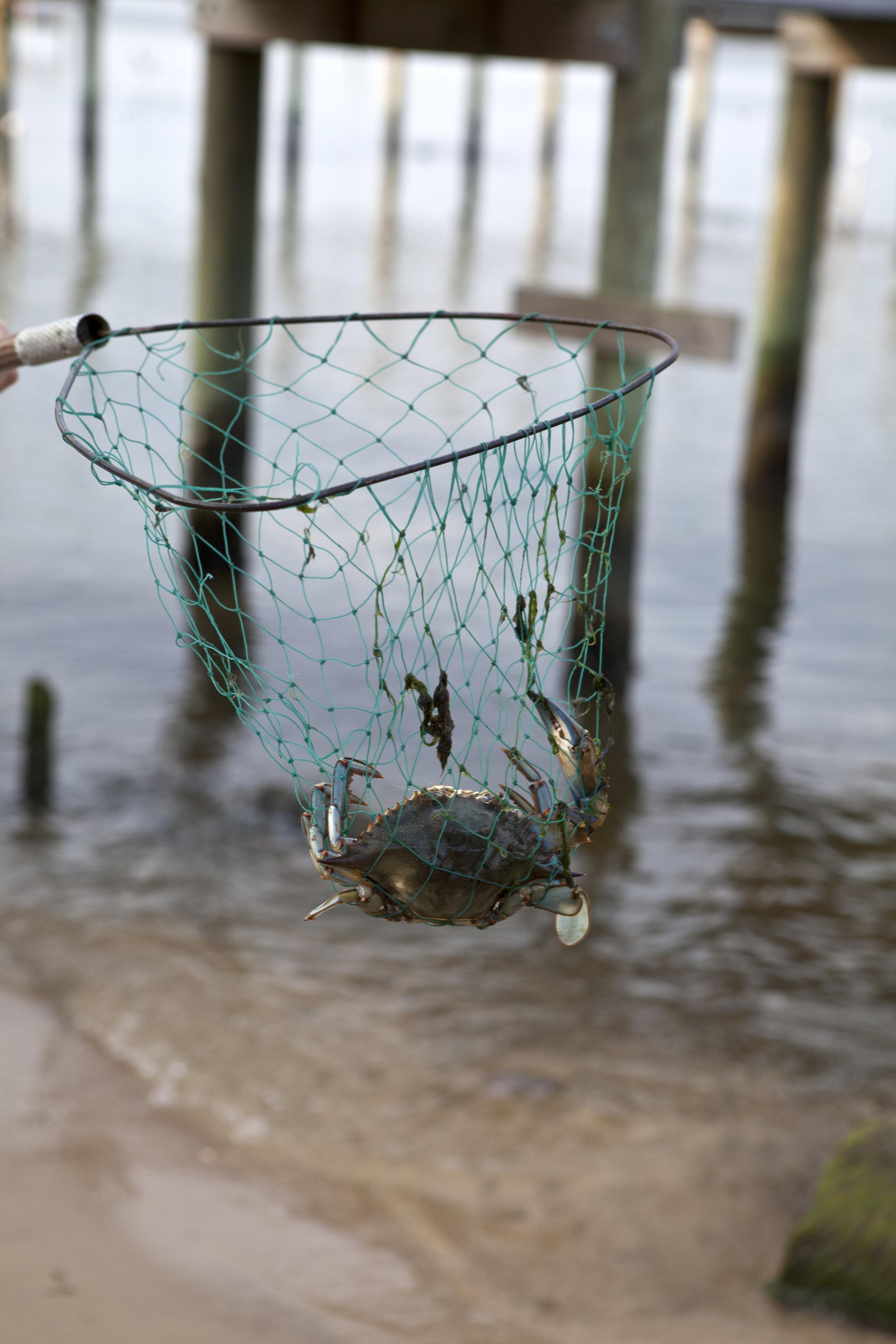 crab in net.jpg