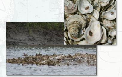 Oysters and natural oyster reef.  Image - United States Army Corps of Engineers