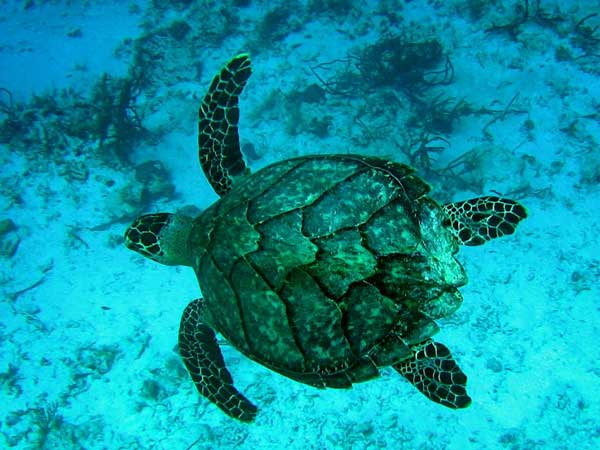 Hawksbill Sea Turtle, currently Endangered