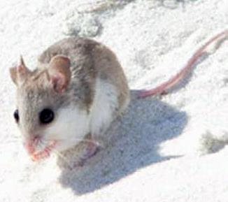 Alabama Beach Mouse, currently Endangered