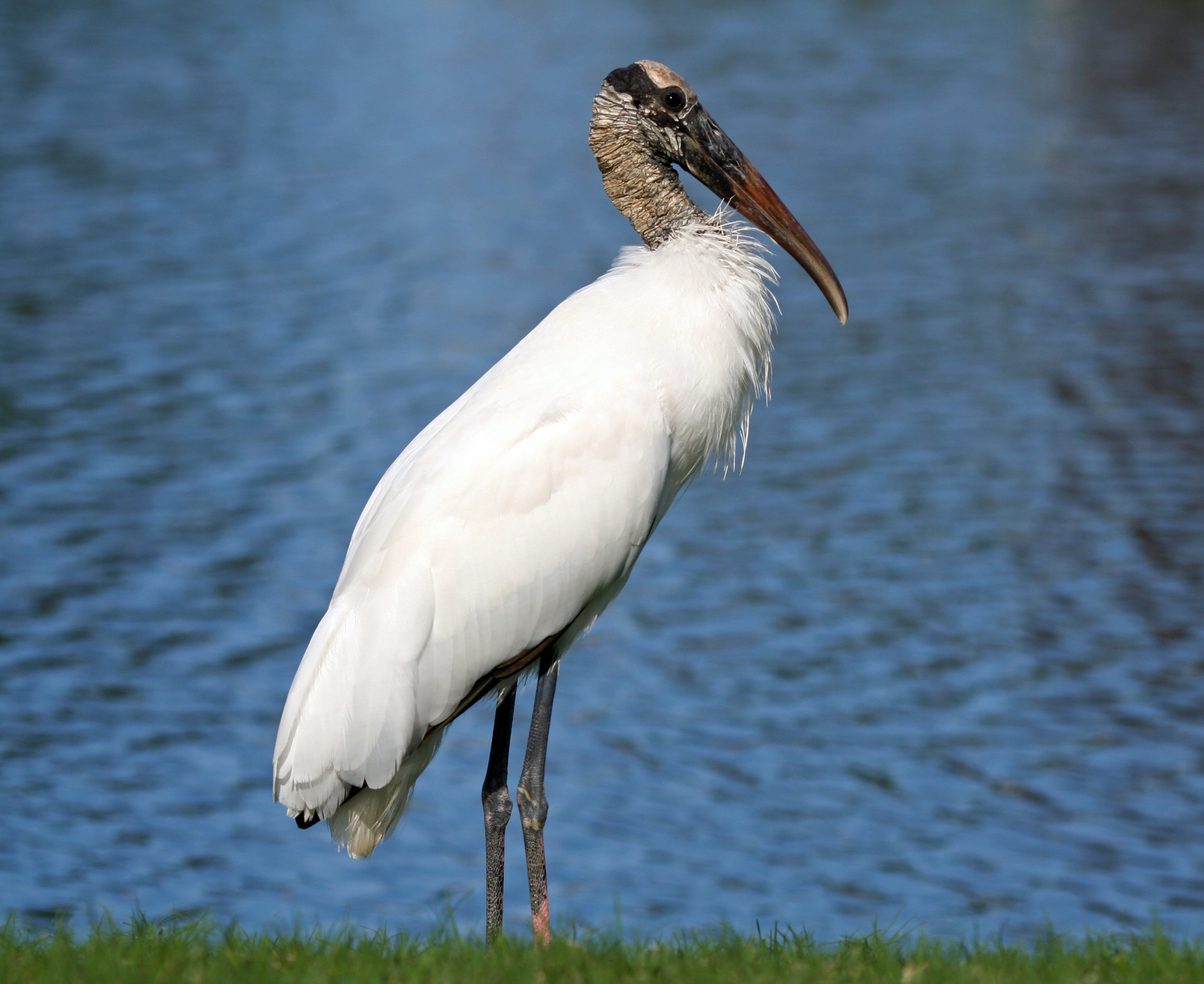 Wood Stork, currently Threatened