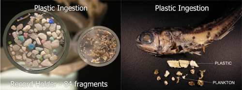 The 2008 North Pacific Gyre Expedition aboard the ORV Alguita discovered the widespread ingestion of plastic particles by fish that forage on plankton at night on the ocean surface. A surprising 35 percent of these fish had ingested micro-plastic particles, the record holder having 84 fragments. (Algalita)