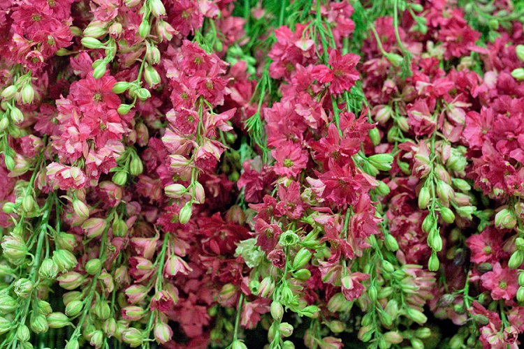 British Flowers Week 2015 Day 1 Larkspur - Presented to you by New Covent Garden Flower Market