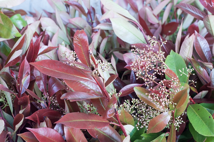 British Flowers Week 2015 Day 2 Foliage - Photinia - Presented to you by New Covent Garden Flower Market