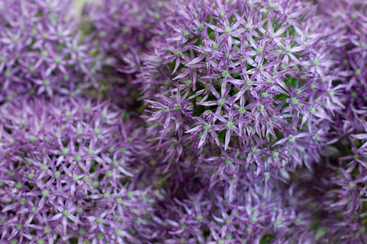 British Flowers Week 2015 Day 3 Alliums - Gladiator -Presented to you by New Covent Garden Flower Market