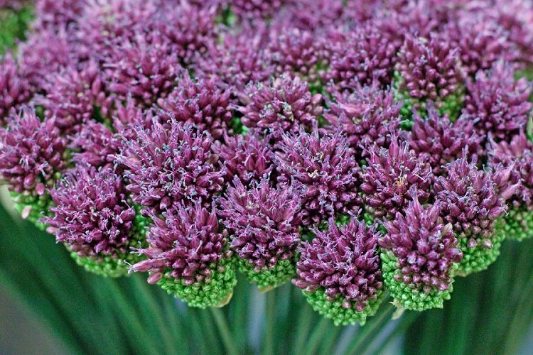 Flowers Week 2015 Day 3 Alliums - Allium Sphaerocephalon or drumstick alliums -Presented to you by New Covent Garden Flower Market
