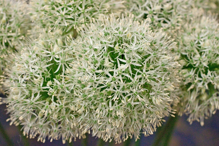 Flowers Week 2015 Day 3 Alliums - Mount Everest -Presented to you by New Covent Garden Flower Market