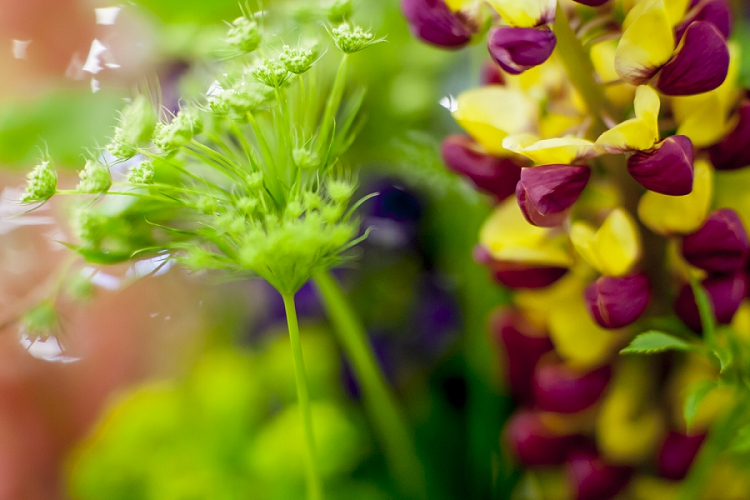 British Flowers Week 2015 - Day 4 - Lupins - Presented to you by New Covent Garden Flower Market